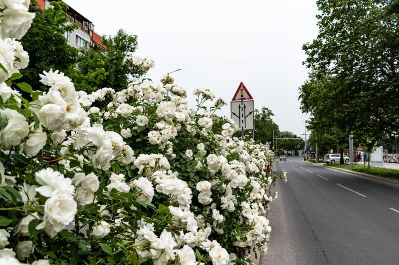 Пловдив се превърна в градина от рози